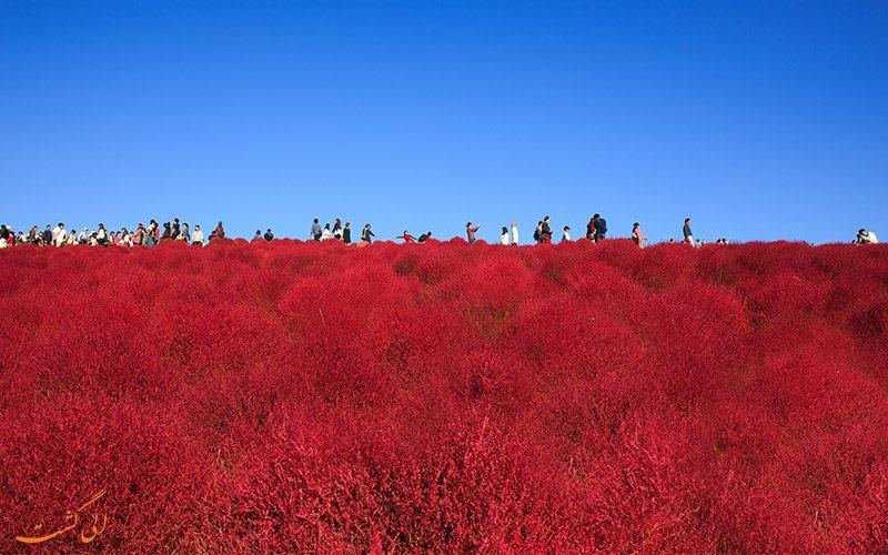 پارک هیتاچی ژاپن، به رنگارنگی رنگین کمان
